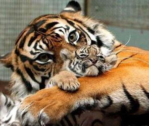 Амурского тигрёнка подарили Воронежскому зоосаду