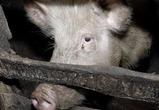В Воронежской области на пожаре погибли 638 свиней