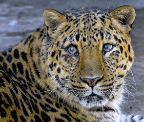 Леопарду разрешили жить