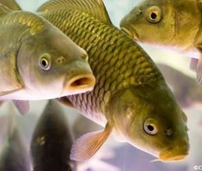 «Рыбопитомник «Нововоронежский» будет производить тысячу тонн товарной рыбы в год