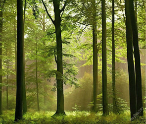 Сохранение хвойных лесов, особенно ценных и важных для человека