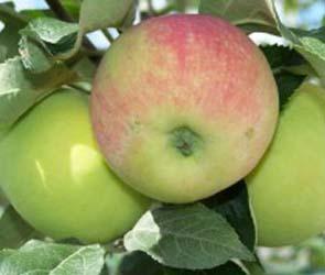 В Воронежской области предотвращена кража яблок