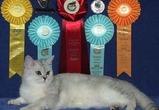 В Воронеже пройдет выставка кошек
