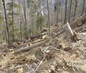 20 деревьев незаконно вырублены в воронежском парке «Динамо»