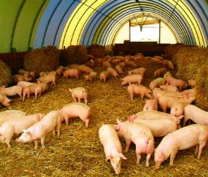 В нескольких районах Воронежской области инвесторы построят свинофермы для нового мясокомбината