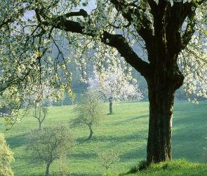 Какие деревья подходят для строительства - плодовые породы