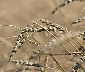 В Воронежской области гибнут посевы