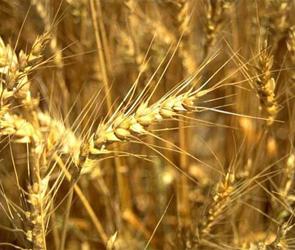 Воронежским сельхозпроизводителям не заплатят за утраченный урожай