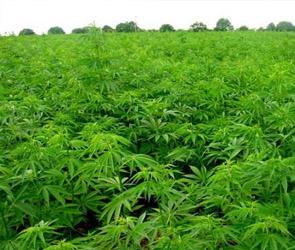 Конопляное поле площадью 5 гектаров обнаружили в Анне