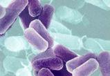 Кишечная бактерия уменьшает риск рецидива камней в почках