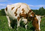 Двое пьяных под Воронежем зарезали чужую корову