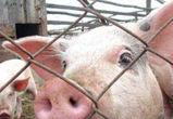 8500 свиней ликвидируют из-за вируса АЧС на ферме под Воронежем