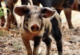 Еще 18 тысяч свиней уничтожат в Нижнедевицком районе из-за чумы