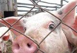 Хозяева неучтенных свиней останутся без компенсации в случае вспышки АЧС