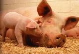 Строительство новых свиноводческих комплексов под Воронежем начнется в июле