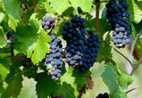В ближайшие годы Воронеж станет винодельческим регионом