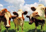 Воронежская область обрастает мясом