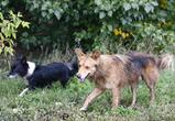 Воронежские зоозащитники считают, что отстрел бездомных собак бесполезен