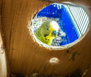 17 воронежских нелегальных попугаев были задержаны в Омской области