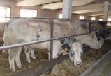 Под Воронежем будут выращивать элитных бельгийских быков