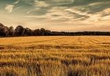 Более 4 миллионов тонн зерна собрали в Воронежской области за 2015 год