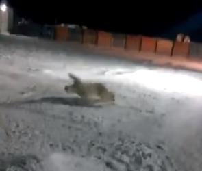 Жителя Черноземья оштрафовали из-за подорвавшегося белого медведя