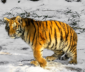 В Воронеже тигр сбежал из ГАЗели при перевозке и гулял рядом с домами в Боровом
