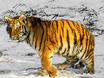 В Воронеже тигр с...