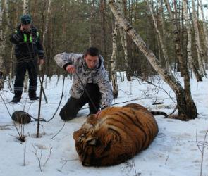 Появились фото поимки тигра, гулявшего по Воронежу