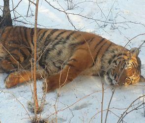 Тигр Шерхан, помещенный в воронежский зоопарк, начал есть и играть