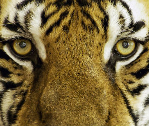 В Воронеже из зоопарка едва не сбежала тигрица