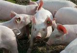 Воронежская область оказалась среди лидеров по производству свинины в стране