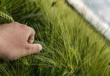 В Воронежской области удалось спасти будущий урожай