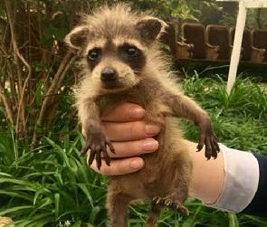 В Воронежском зоопарке родились три волчицы и енот