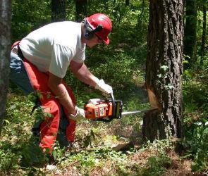 В Воронежской области доморощенный археолог спилил 17 сосен, мешавших раскопкам