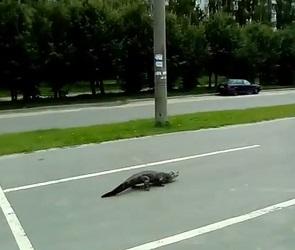 Воронежцы сняли на видео огромную рептилию, разгуливающую по парковке ТЦ