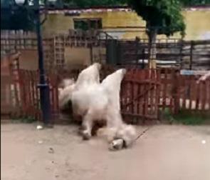 Громкое падение верблюда в Воронежском зоопарке попало на видео