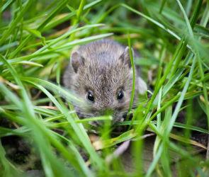 В крупе для воронежских школ Россельхознадзор нашел мышей, моль и экскременты