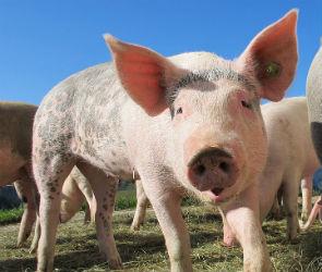 В Поворинском районе из-за вспышки африканской чумы свиней введен режим ЧС