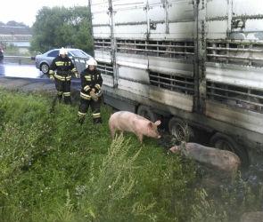 Около сотни свиней, которых везли в Воронеж, заживо сгорели в ДТП под Тверью