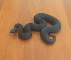 В Северном микрорайоне на территории школы поймали ядовитую змею