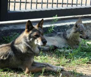 В Воронежском зоопарке волки смогут играть в песочнице
