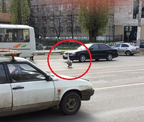 В Воронеже сбежавший из озера лебедь затормозил дорожное движение