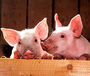 Фермеров из воронежского села в зоне АЧС судят за отказ уничтожить своих свиней
