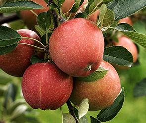 Воронежский селянин высадил яблоневый сад из 40 ворованных саженцев