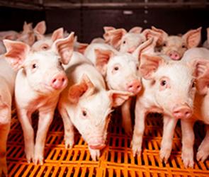 Ведущий воронежский свинокомплекс из-за вспышки АЧС уничтожит 42 000 свиней