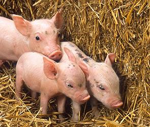 В Подмосковье ветеринары нашли вирус АЧС в воронежской свинине