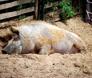 В селе под Воронежем нашли трупы свиней с вирусом АЧС, объявлен карантин