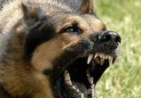 В Воронеже злая овчарка в прыжке укусила 15-летнего байкера