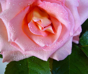 Из сквера «Роща сердца» злоумышленники похитили растущие там розы